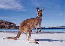 Kangaroo-w